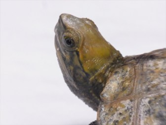 【鑑定希望】ウチのニホンイシガメはウンキュウでしょうか?