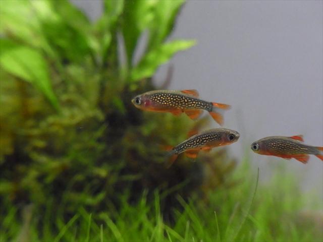 3匹のミクロラスボラ・ハナビ