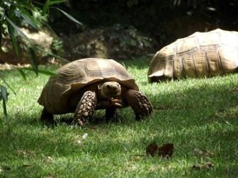 亀の寿命と長寿記録の種類別まとめ!リクガメで100歳はザラ