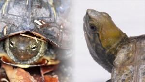 ウンキュウ-イシガメ・クサガメと交雑種の特徴・見分け方
