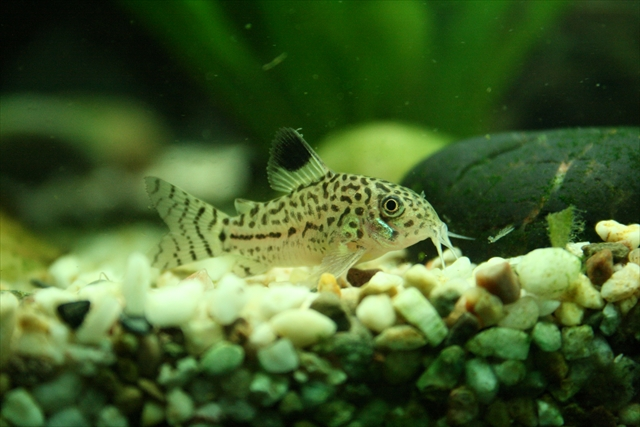 leopard catfish