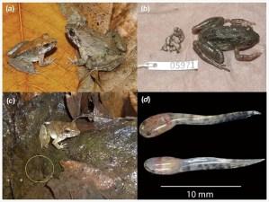 幼生を産む新種カエル発見&変わった繁殖形態のカエルまとめ