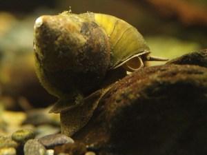 タニシをアクアリウム水槽のコケ取り生体に:石巻貝との違い