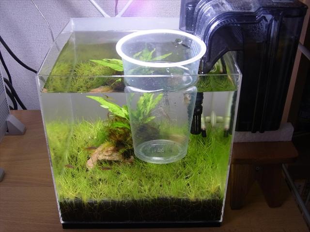 生体を袋からプラカップへと移し水槽に浮かべる