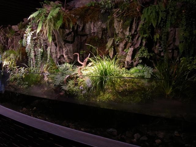 鴨川のオオサンショウウオ展示水槽