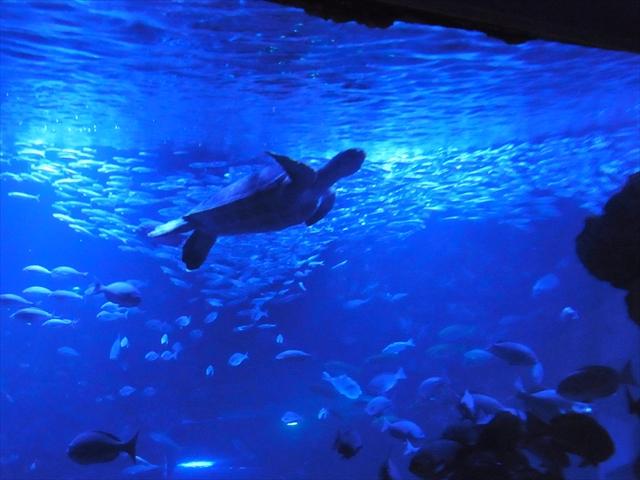 大水槽のアオウミガメ