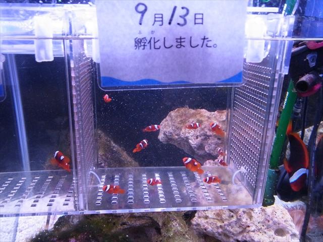 ハマクマノミの稚魚