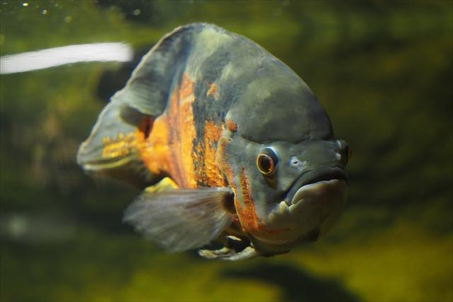 Amazon fish