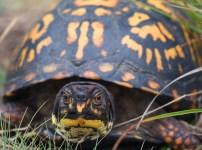 トウブハコガメ Eastern Box Turtle