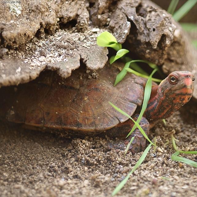 Okinawa black-breasted leaf turtle Geoemyda japonica at Neo Park Okinawa