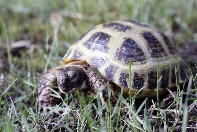 "Photo of a Russian Tortoise named ""Tot"""