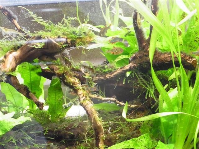30cm水槽のミクロラスボラ・ハナビ