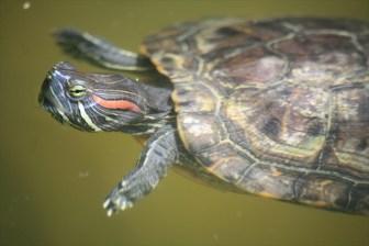 #つなごうミドリガメ に思うこと-生物多様性保全と動物愛護の狭間