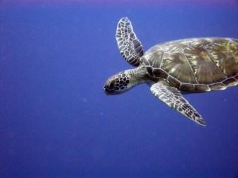 アカウミガメ(野生動物)の生態調査-準備編:知識と必要な装備