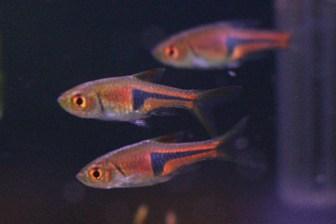 ラスボラ・エスペイ-水草水槽を鮮やかに彩る群泳性の小型熱帯魚