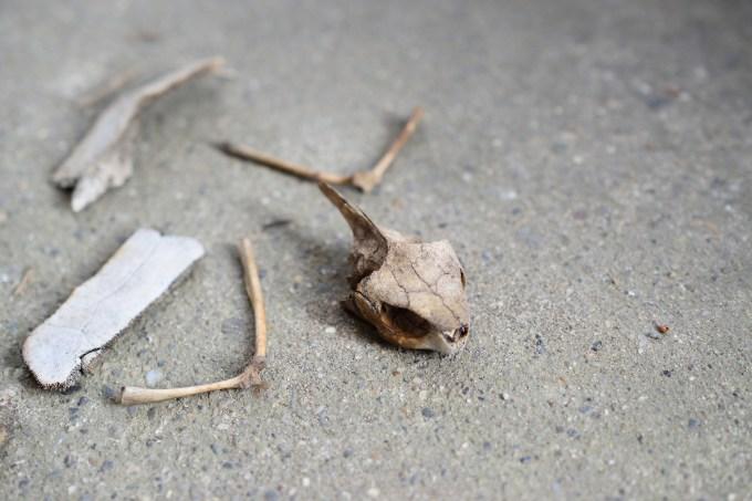 クサガメの頭骨と肩甲骨