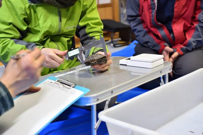 ノギスで亀の甲長を測る