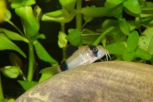コリドラス・パンダの飼育・繁殖・生態-小型で柄が可愛い底棲熱帯魚