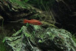 真紅の熱帯魚・チェリーバルブの飼育と繁殖!スネール対策にも大活躍