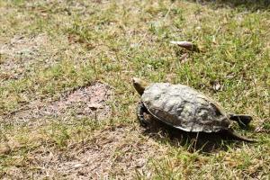 肺炎や水カビ等の病気が疑われる亀を動物病院へ-診断・治療法・料金まとめ