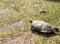 肺炎や水カビ等の病気が疑われる亀を動物病院へ