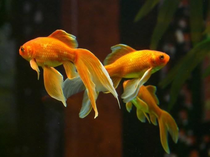 金魚(ベールテール)