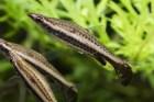 ペンシルフィッシュ10種まとめ!飼育・繁殖法とコケ取り能力
