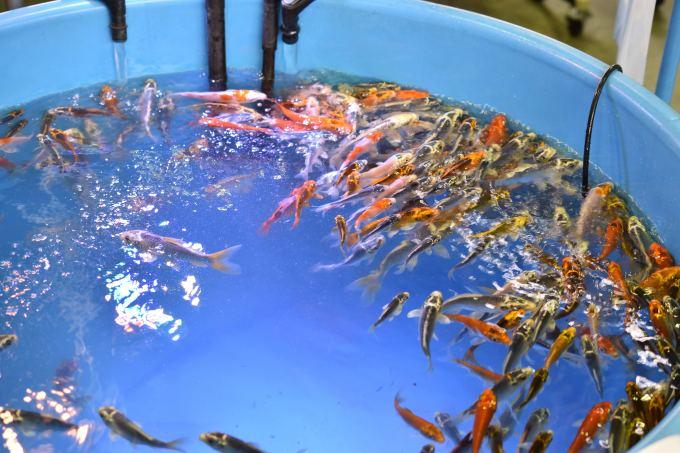 ナゴレプ会場にいた錦鯉
