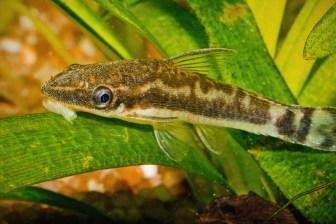 オトシンクルスの種類・飼育・繁殖:混泳◎のコケ取り熱帯魚