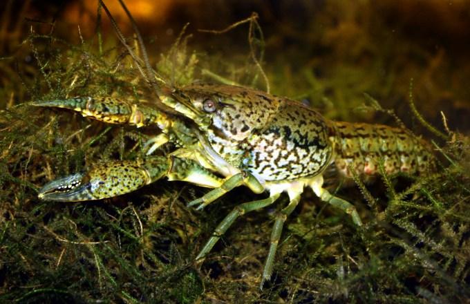 ミステリークレイフィッシュ(Procambarus fallax forma virginalis)