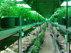 Cannabis tips