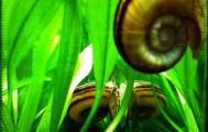 Ammonite Snail