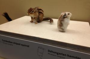 A Cambodian striped squirrel and a Dzhungarian hamster