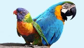 Diferença entre arara e papagaio