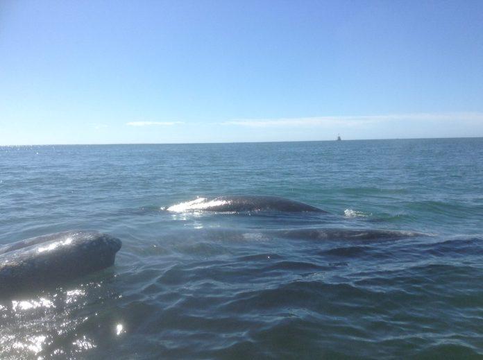 Ballenas y ballenatos en la costa mexicana de Baja California sur