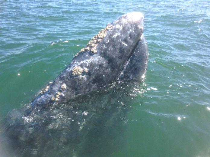 Cabeza de una ballena desde cerca en la costa mexicana de Baja California sur