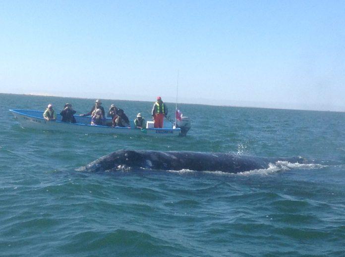 Ballenas junto a turistas en la costa mexicana de Baja California sur
