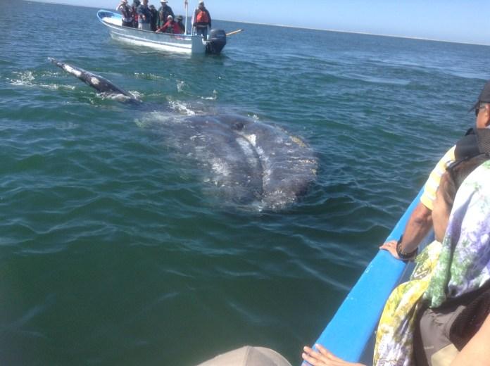 Ballenas en la costa mexicana de Baja California sur