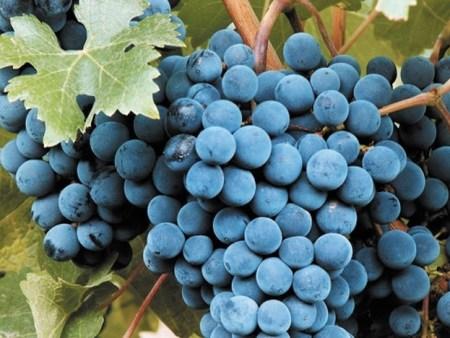bonarda argentina uva