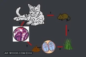 هل يمكن علاج داء القطط اثناء الحمل