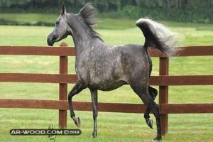 انواع الخيول العربية الاصيلة بالصور