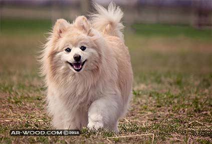 كلب شي واوا