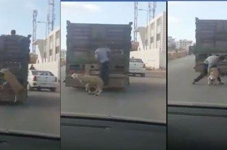 فيديو.. سرقة كبش من داخل شاحنة