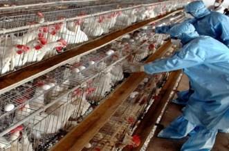 أنفلونزا الطيور تمنع عدة دول أوربية من استيراد الدواجن