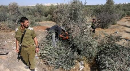 إسرائيل تقتلع عشرات أشجار الزيتون في الأغوار الفلسطينية
