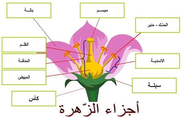 مقارنة بين الازهار الكاملة والناقصة