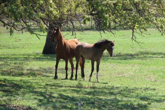 The 2016 filly Ain Dalal Baskette by Eliron Haman (El Hadiyyah x Eliron Bint Siria [VA Sirius}) and her dam TA Aloha (Travis MSC x *Ala AHSB by Alegro), owned by Sunny Gates, Fredericksburg, Texas.
