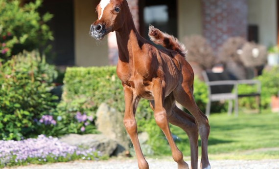 The 2017 filly Pervinca Le Soleil (ZT Magnofantasy x Leilany Le Soleil), bred and owned by Elvis Giughera, Le Soleil Stud, Italy.