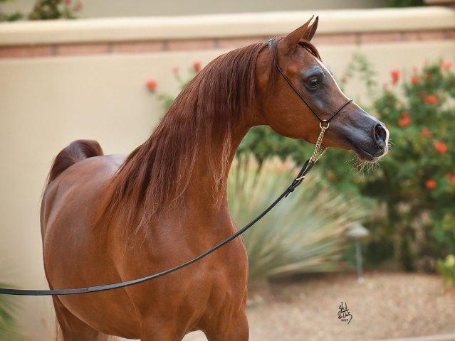 Cover Story: Valley Oak Arabians