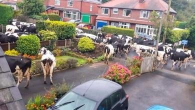Photo of قطيع ضخم من الأبقار يسطو على قرية بريطانية